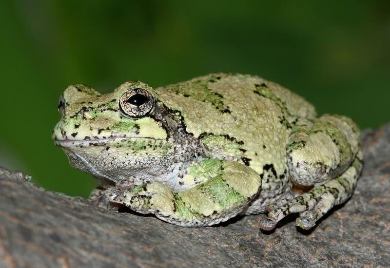 Grijze Treefrog stock foto