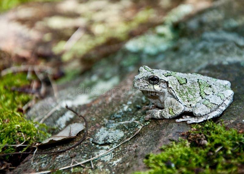Grijze Treefrog (versicolor Hyla) royalty-vrije stock afbeeldingen