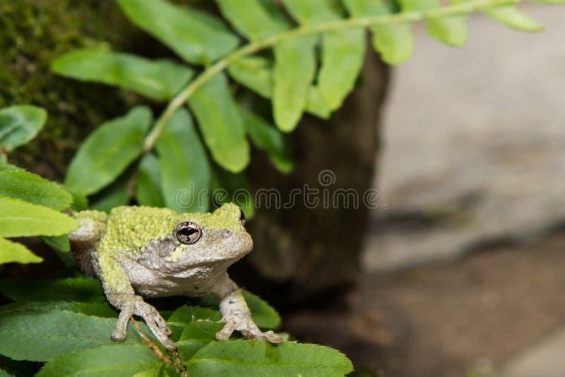 Grijze Treefrog (versicolor Hyla) royalty-vrije stock fotografie