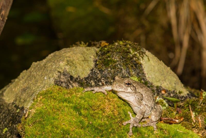 Grijze Treefrog (versicolor Hyla) stock afbeelding