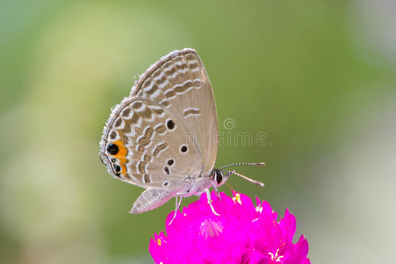 Grijze vlinder op roze bloem royalty-vrije stock foto