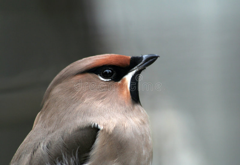 Grijze vogel stock fotografie