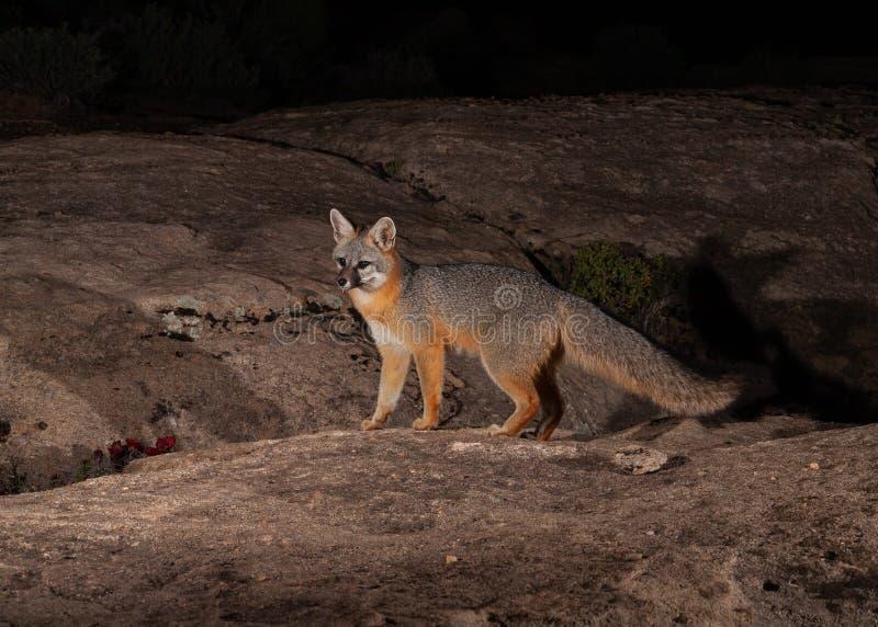 Grijze vossejachten op slickrock in de woestijn van Zuidelijk Utah bij nacht royalty-vrije stock fotografie