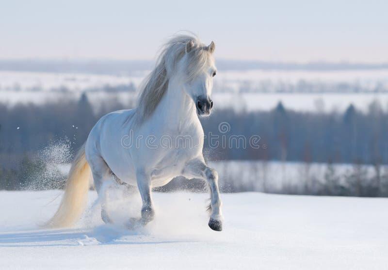 Grijze Welse poney stock afbeelding