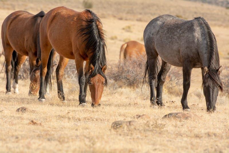 Grijze wilde hengst in de woestijn met gehoord zijn royalty-vrije stock foto's