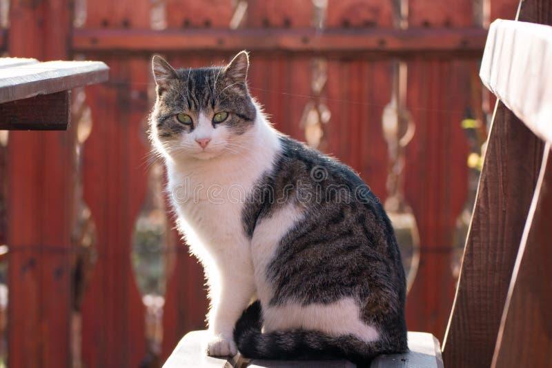 Grijze witte kat op een houten bank royalty-vrije stock afbeelding