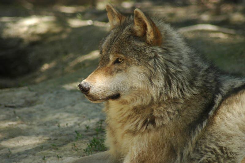 Download Grijze wolf stock foto. Afbeelding bestaande uit alpha - 290928