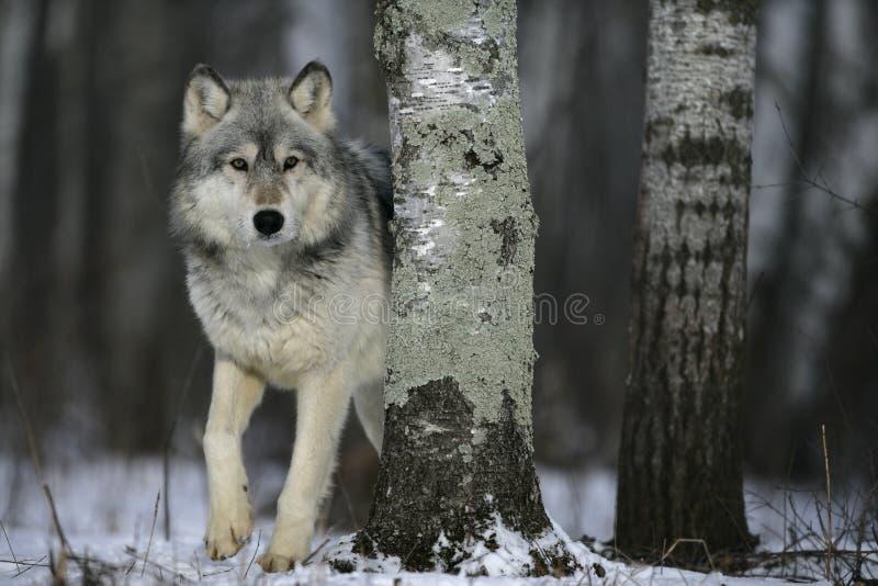 Grijze wolf, Canis-wolfszweer stock fotografie