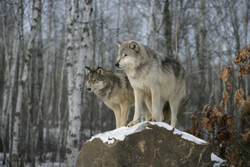 Grijze wolf, Canis-wolfszweer royalty-vrije stock afbeeldingen
