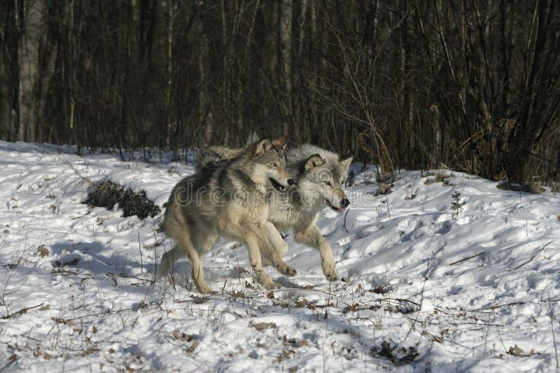 Grijze wolf, Canis-wolfszweer stock afbeeldingen