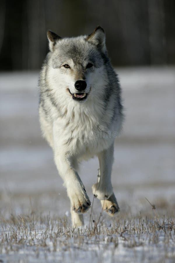 Grijze wolf, Canis-wolfszweer royalty-vrije stock foto's