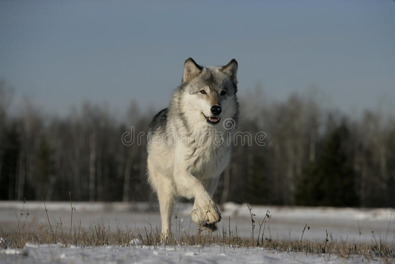 Grijze wolf, Canis-wolfszweer royalty-vrije stock foto