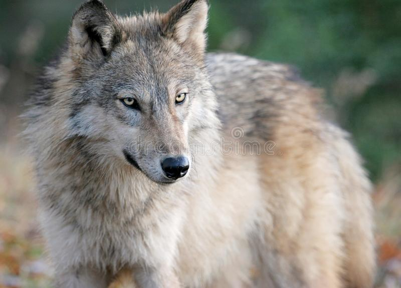 Grijze wolf in de herfst het plaatsen stock afbeelding