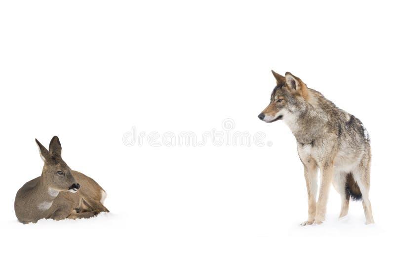 Grijze wolf en herten stock foto's