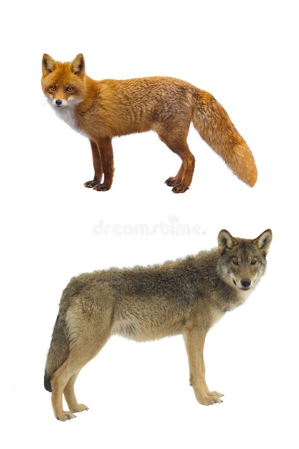 Grijze wolf en vos stock afbeelding