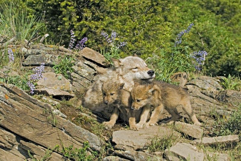 Grijze wolf met haar welpen stock foto's