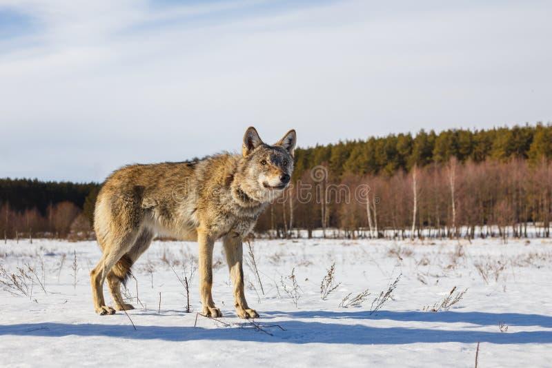 Grijze wolf op de achtergrond van een overweldigende blauwe hemel De winter warme zon en sneeuw stock foto