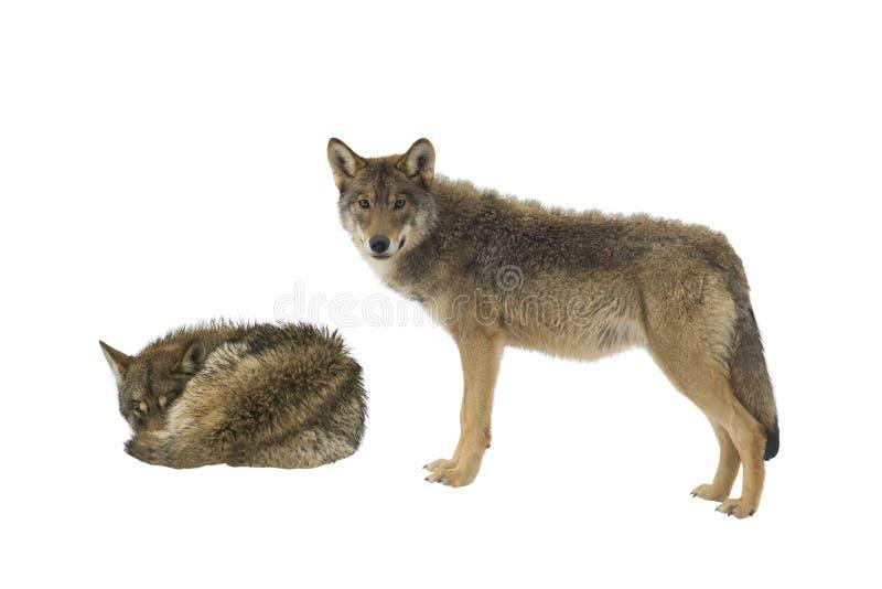 Grijze wolf twee stock foto's
