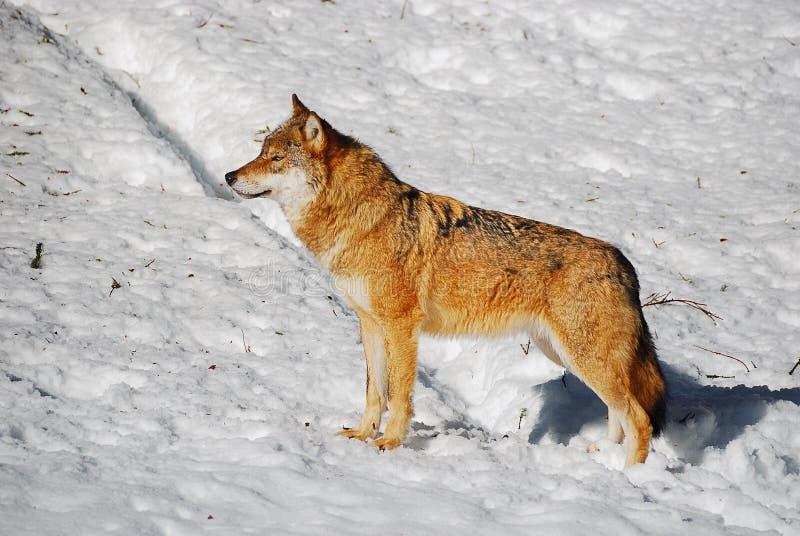 Grijze Wolf (wolfszweer Canis) royalty-vrije stock afbeeldingen