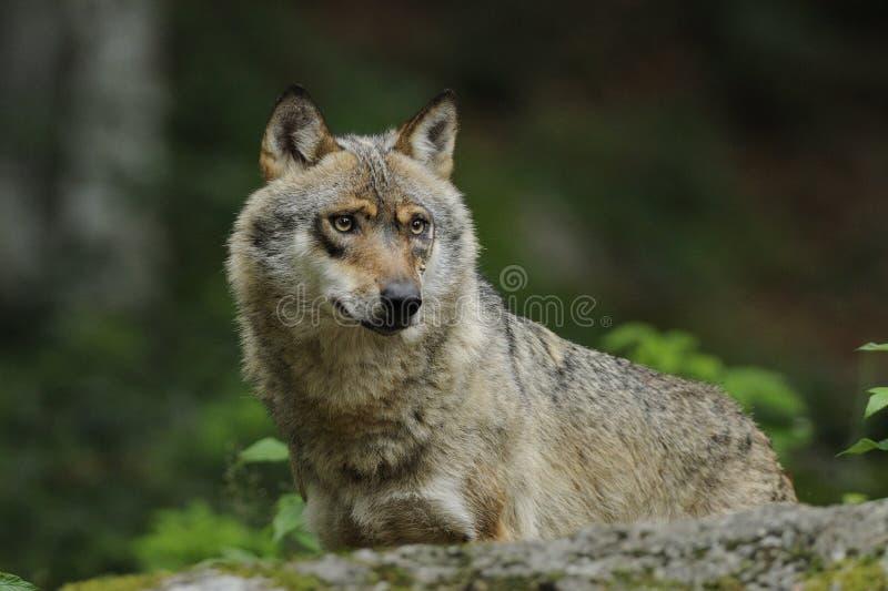 Grijze Wolf (wolfszweer Canis) stock foto