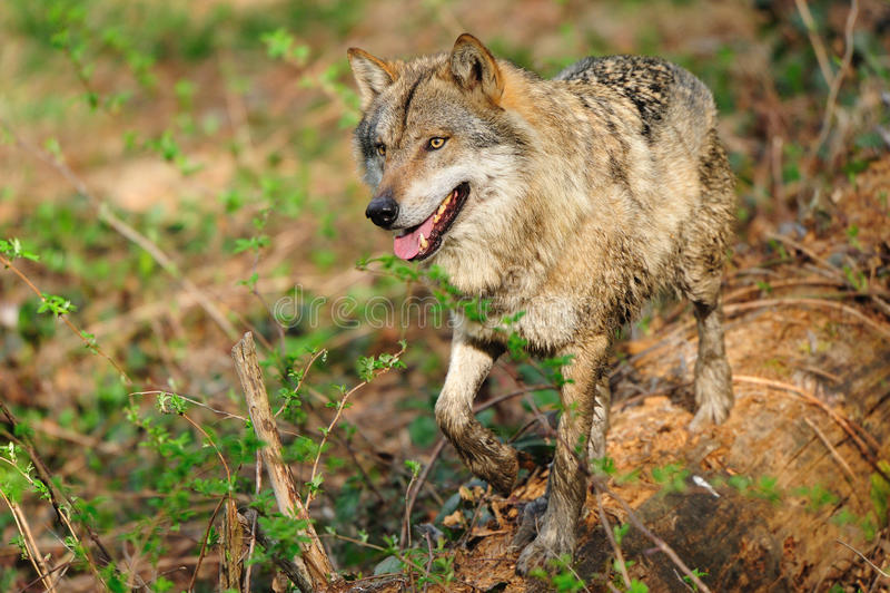 Grijze Wolf (wolfszweer Canis) royalty-vrije stock foto's