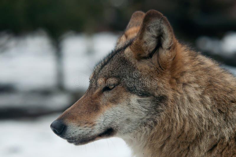 Download Grijze Wolf (wolfszweer Canis) Stock Foto - Afbeelding bestaande uit nadruk, buiten: 29510086