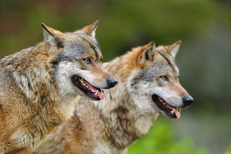 Grijze Wolfes (wolfszweer Canis) stock foto's