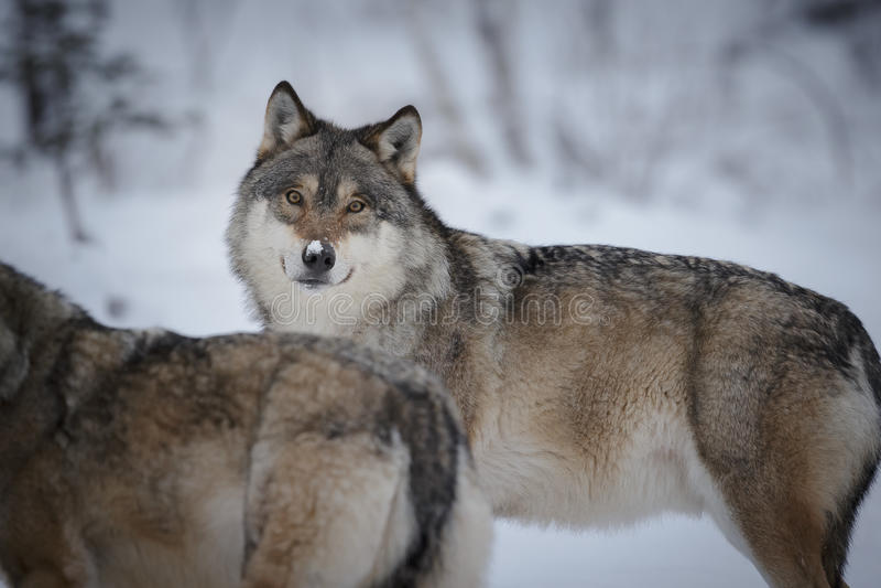 Grijze wolven in de noordpoolwinter stock afbeelding