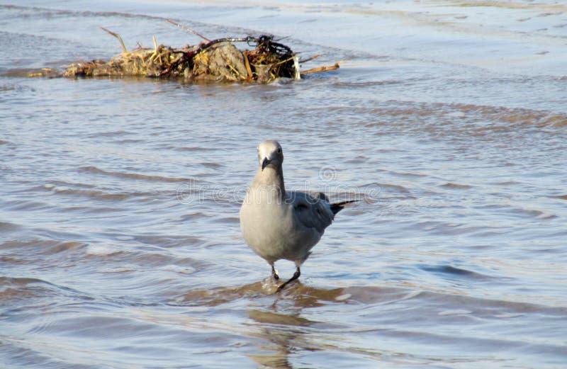 Grijze zeemeeuw op het overzeese strand royalty-vrije stock foto's