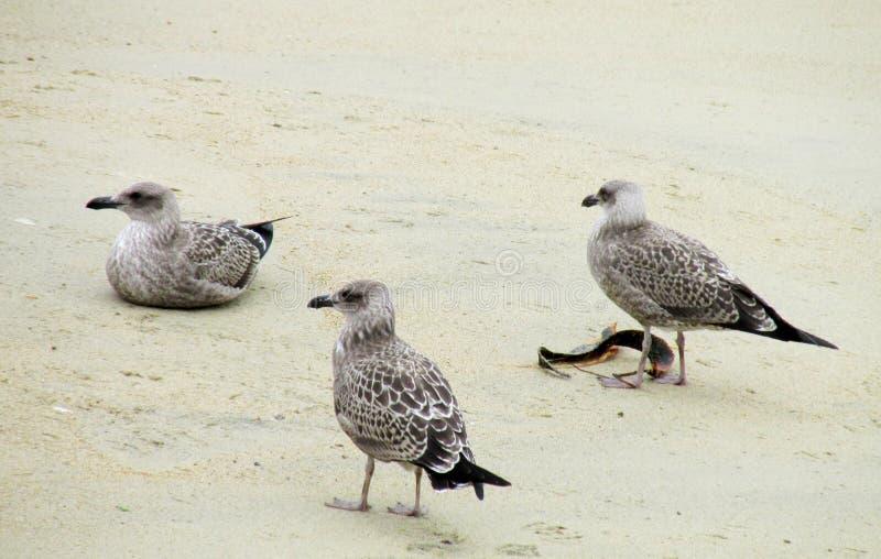 Grijze zeemeeuwen op het strand stock fotografie