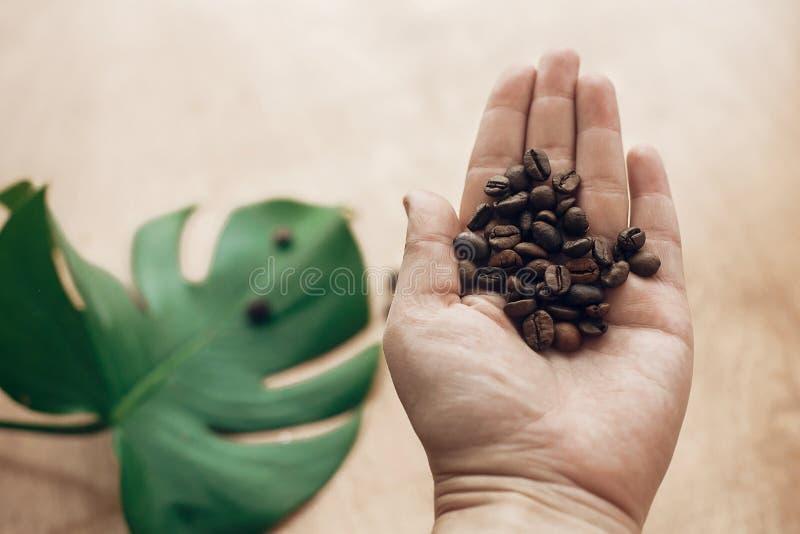 Grillade kaffebönor i hand på bakgrund av trä med gröna sidor i ljus Samla kaffebönor begrepp, varm drink för morgon royaltyfri bild