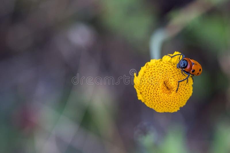 Grillo rojo y verde en la flor amarilla de la margarita foto de archivo