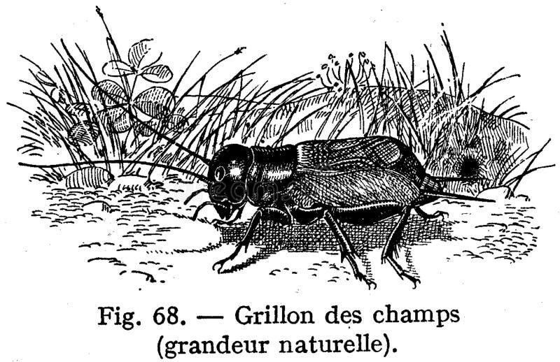 Grillon Free Public Domain Cc0 Image