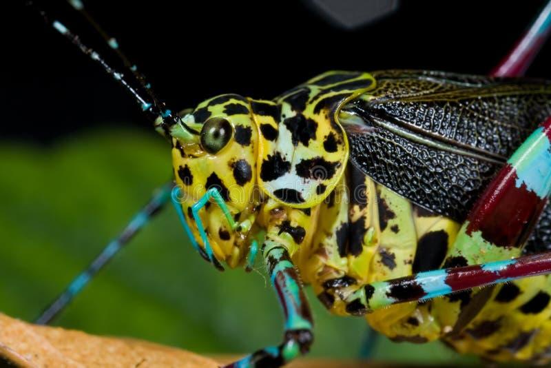 Grilo colorido do katydid/arbusto fotografia de stock