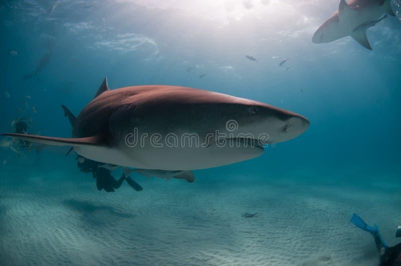 Grimace de requin photographie stock libre de droits