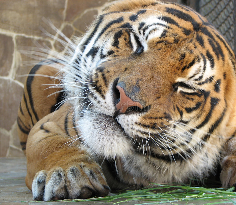 Download Grimaces de tigre photo stock. Image du inde, amur, appareil - 3353618