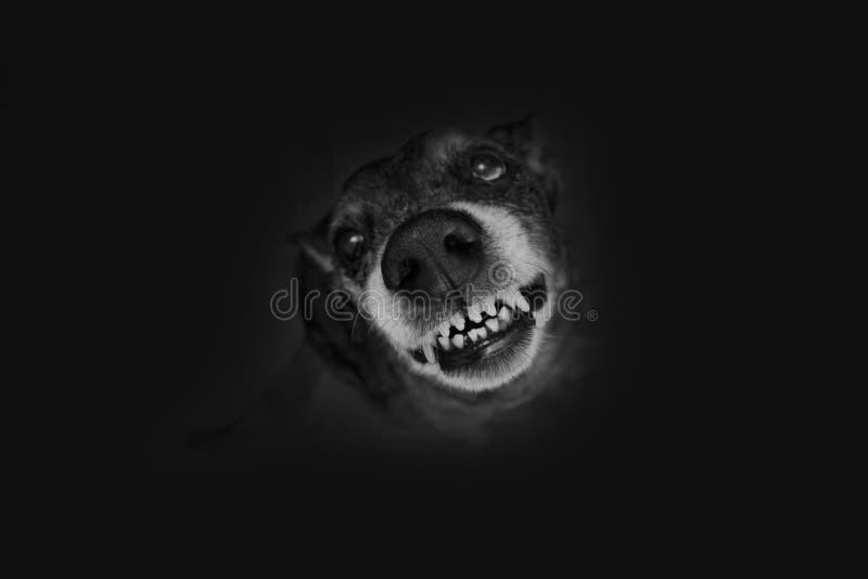 Grimaces grises de berger photos libres de droits