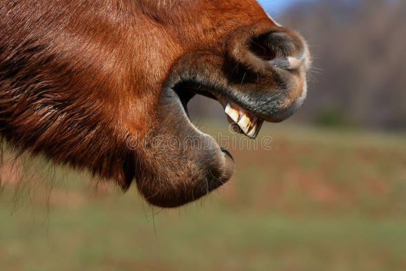 Grimase del cavallo fotografia stock libera da diritti