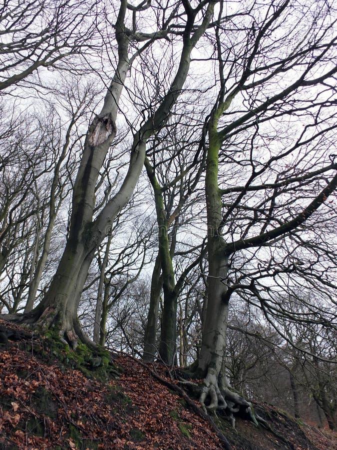 Grimmige lange de winterbomen met verdraaide takken in hellingsbos stock foto's