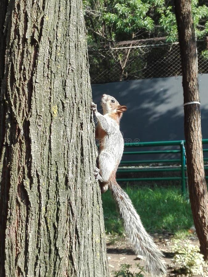 Grimpeur d'écureuil photo libre de droits
