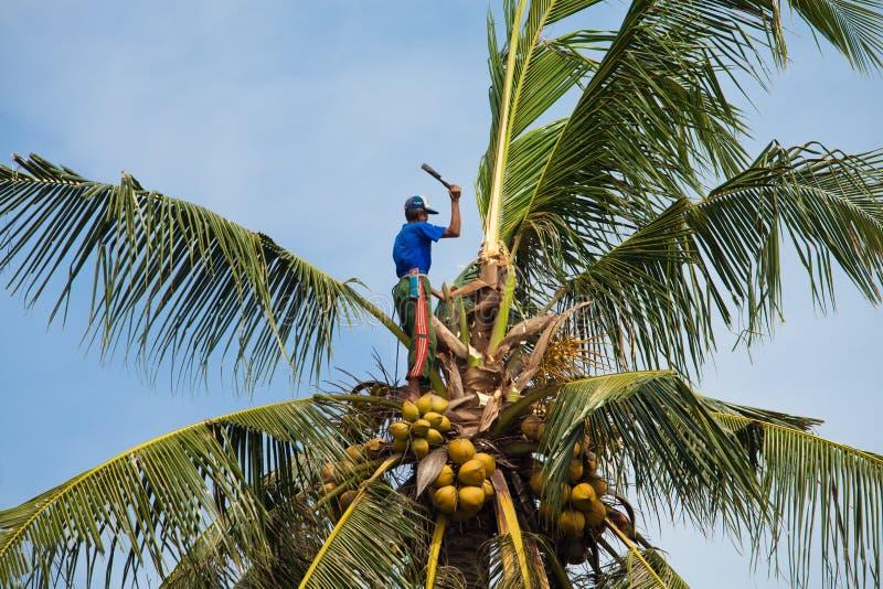 Grimpeur de noix de coco photo libre de droits