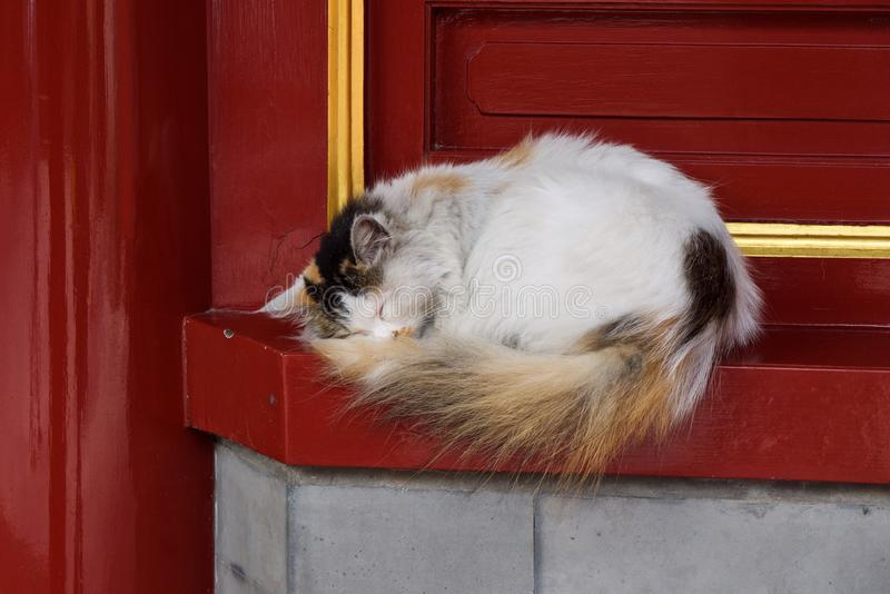 A grimy homeless white fluffy cat is sleeping against a red wall with a golden ornament stock images