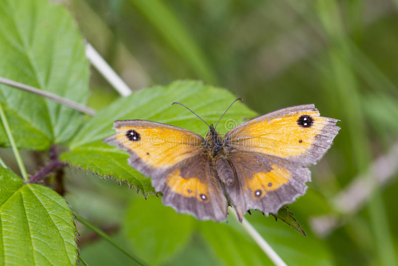 Download Grindvaktarefjäril (den Pyronia Tithonusen) Fotografering för Bildbyråer - Bild av blomma, fokus: 27281431