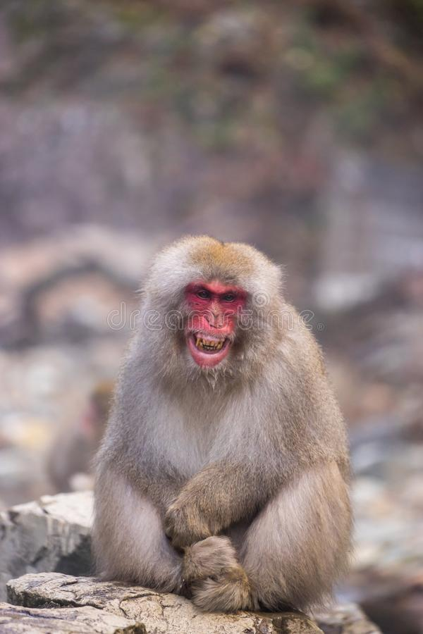 Grinning Japanese Monkey & x28;Macaques& x29; at Jigokudani. Japan, soft focus background stock photography