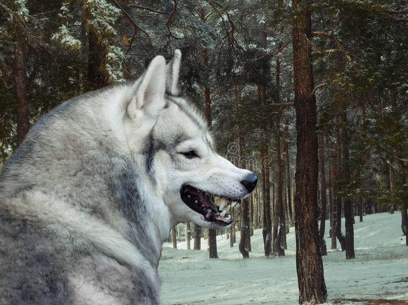 Angry gray wolf in winter forest royalty free stock photo