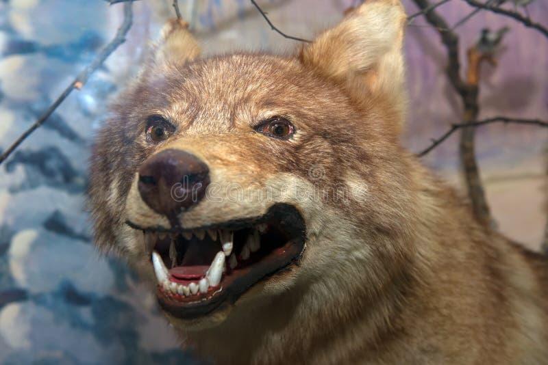 Grinsen eines Wolfs stockbild