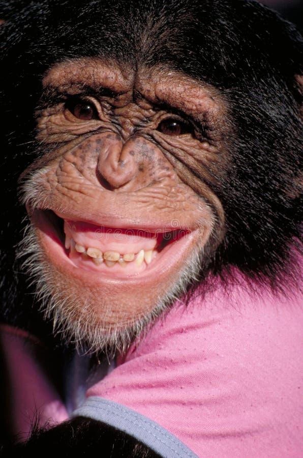 Grinsender Schimpanse stockbilder