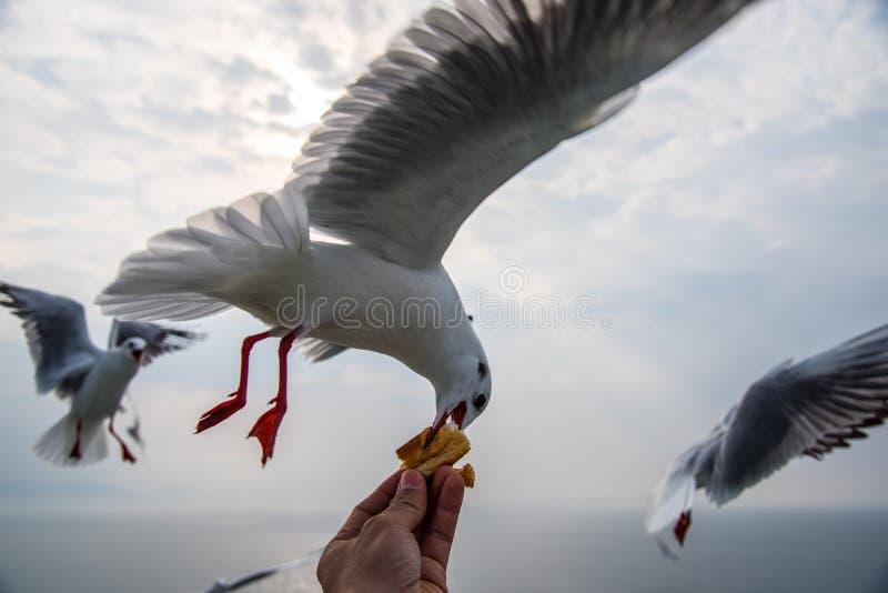 Gripande bröd för Seagull arkivbild