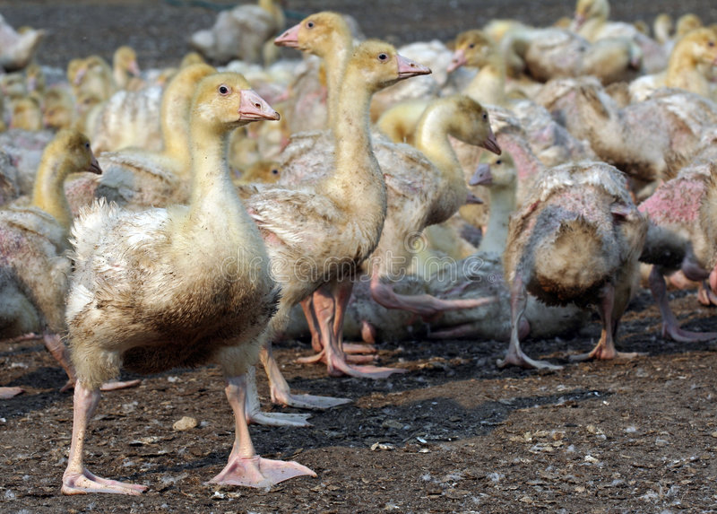Gripe de pássaro fotos de stock