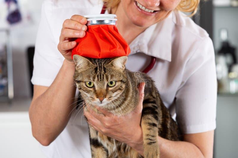 Gripe del gato fotos de archivo